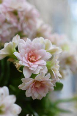 Kalanchoé rose