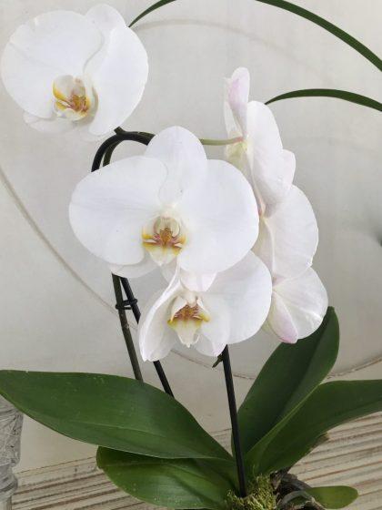 Phalaenopsis blanche