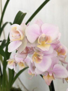 Orchidée rose pâle