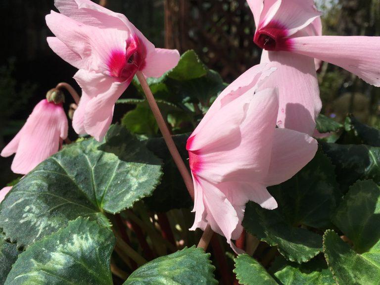 Fleurs de cyclamen