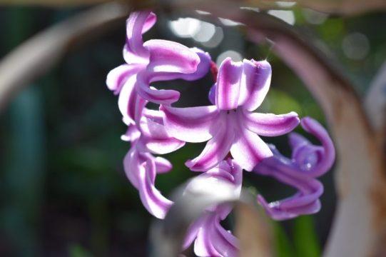 jacinthe mauve au soleil