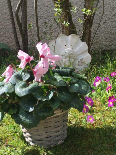 Pots de cyclamen printemps