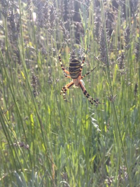 Araignée frelon dans lavande