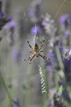 araignée dans les lavandes