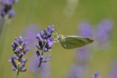 papillon-blanc-lavande