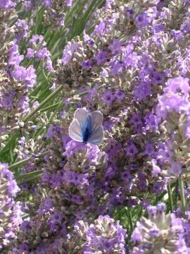 papillon-dans-lavande