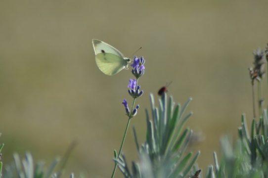 Papillon blanc sur brin de lavande