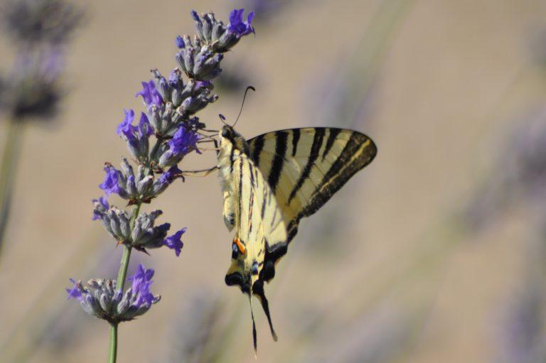 Papillon noir et blanc sur lavande