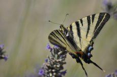 Papillon posé sur lavande