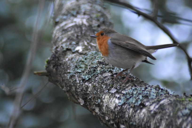 branche-robin