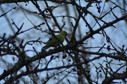 cerisier-perruche