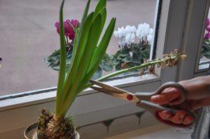 Comment couper la hampe de la jacinthe