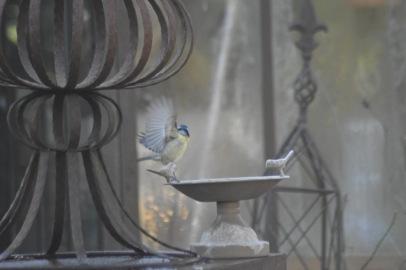 envol-mesange-bleue