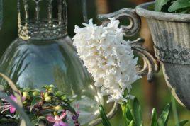 jacinthe blanche penchée