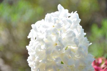 jacinthe blanche au soleil