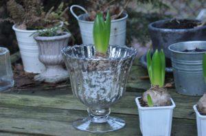 Jacinthe dans un vase mercurisé