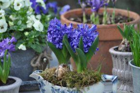 Jacinthes bleues dans une saucière