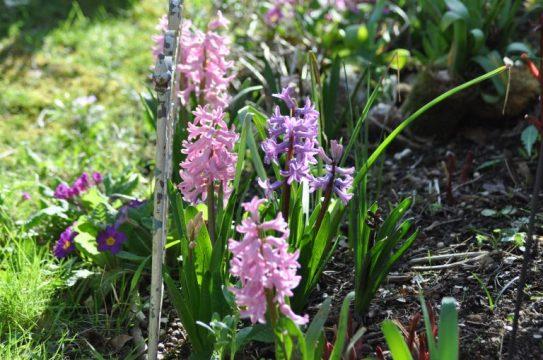 Jacinthes dans jardin