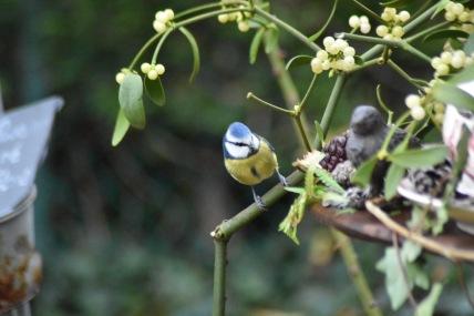 mesange-bleue-gui