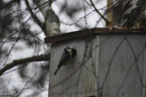 nid-mesange