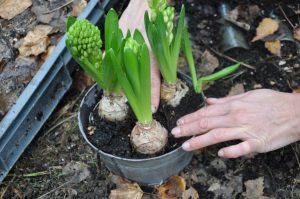 Planter des jacinthes forcées
