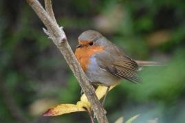 robin-plumes