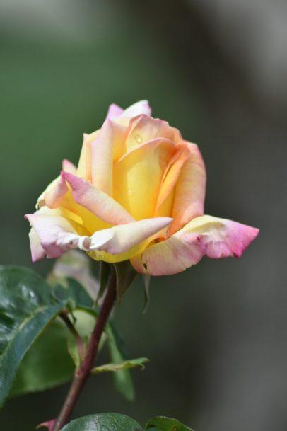 bouton de rose Mme Meilland