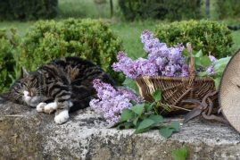 le chat et le lilas