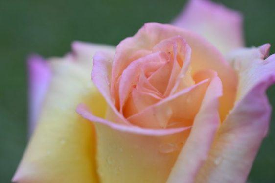 Coeur de la rose Mme Meilland