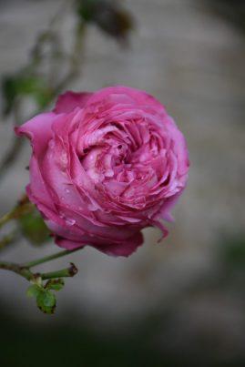 Rose Cyclamen Pierre de Ronsard