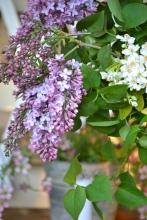 fleurs-lilas-oranger-du-maxique