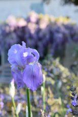 Iris et glycine