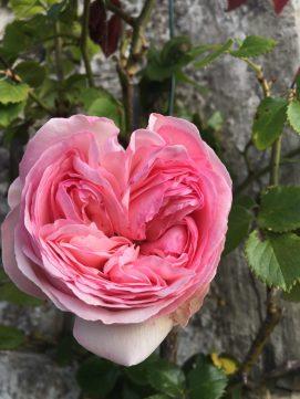Rose Pierre de Ronsard en coeur