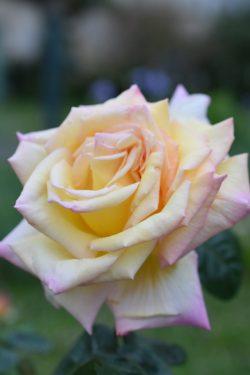 Rose Mme Meilland épanouie