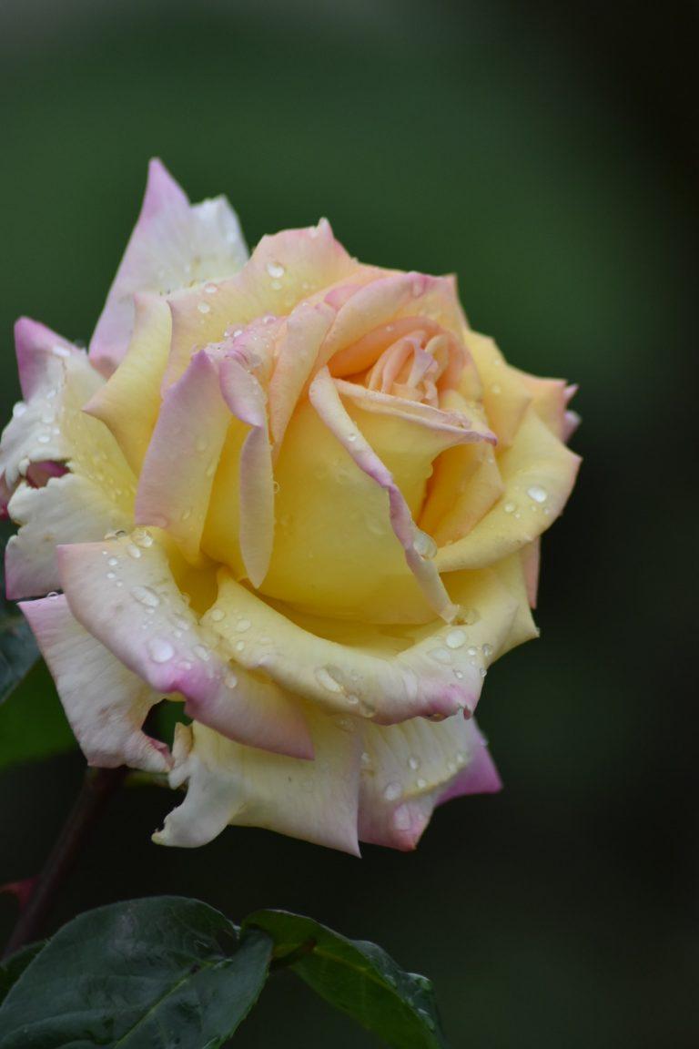 Rose Madame Meilland