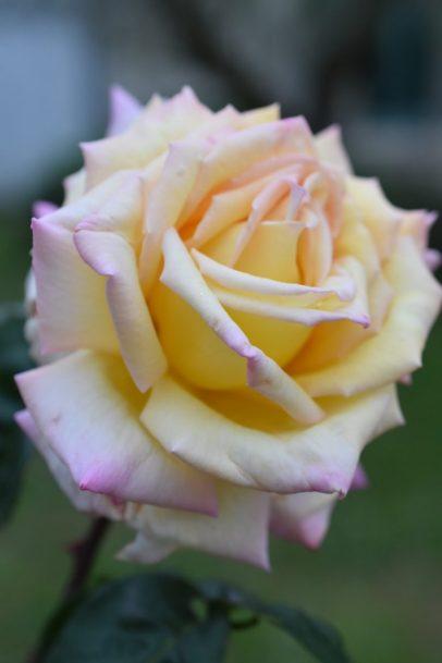 Rose Mme Meilland