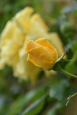 Rose Sultane