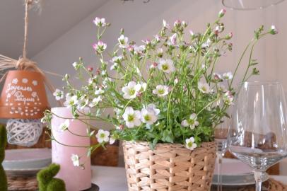 saxifrage-rose