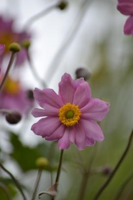 anemoneflower