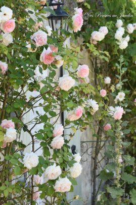 roses Pierre de Rossard