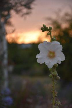 rose trémière coucher de soleil