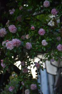 Roses Paul Noel