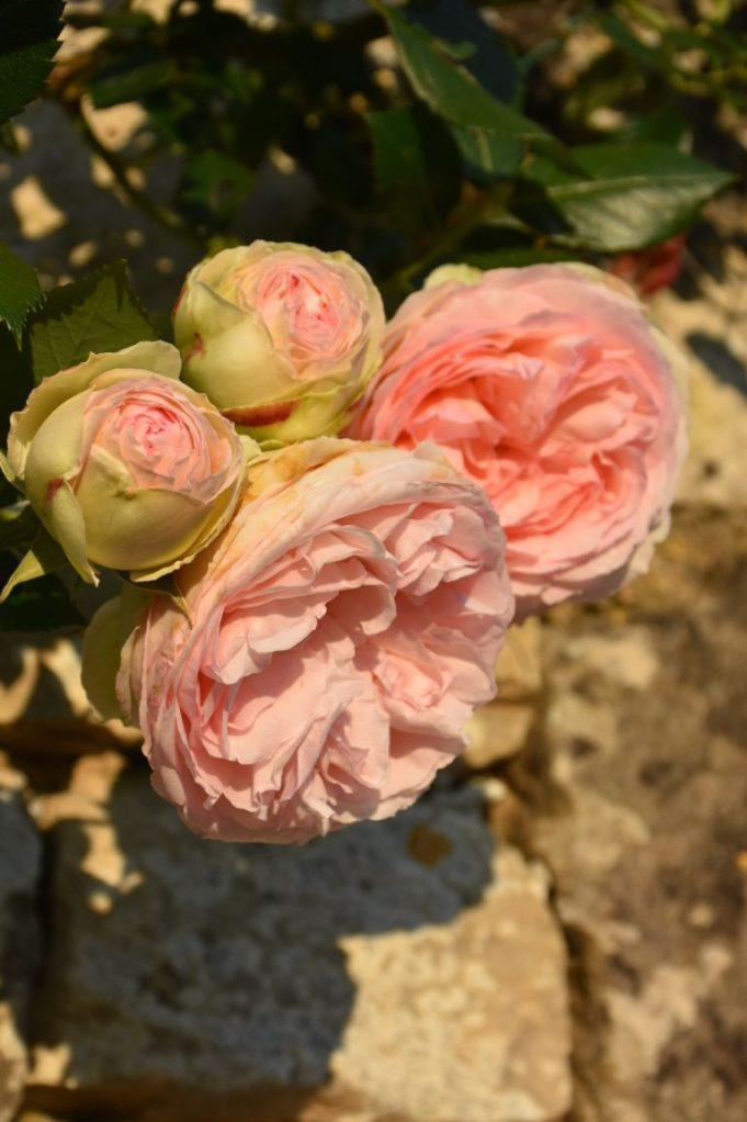 Roses Pierre de Ronsard soleil couchant